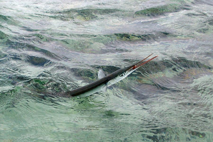 Årets første hornfisk
